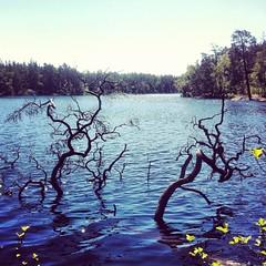 Årsjön i juni