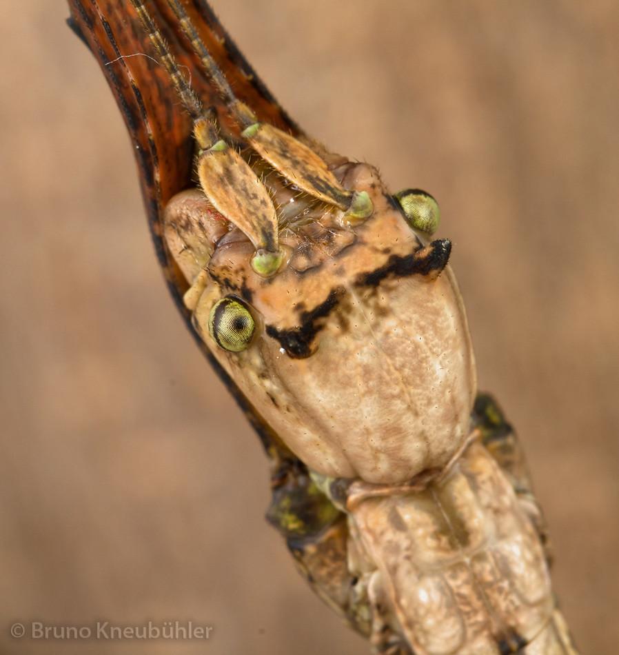 "Ramulus sp. ""Cuc Phuong"" - very ornamental females 7415618974_a06c94c441_b"