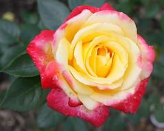 rosa 㗠centifolia(0.0), garden roses(1.0), floribunda(1.0), flower(1.0), yellow(1.0), rosa foetida(1.0), macro photography(1.0), petal(1.0),