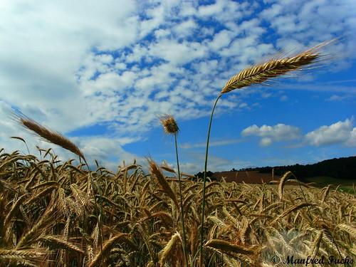 Weizenfeld mit Wolken