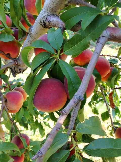 Livesay Orchard - Porter, OK
