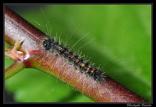 Chenille du Bombyx disparate (Lymantria dispar)