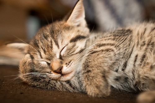 無料写真素材, 動物 , 猫・ネコ, 子猫・小猫, 寝顔・寝姿