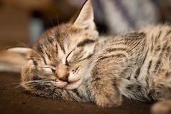 [フリー画像素材] 動物 1, 猫・ネコ, 子猫・小猫, 寝顔・寝姿 ID:201207061000