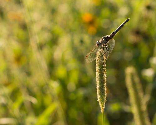 new sunset summer england field sunshine ma warm unitedstates dragonfly bokeh massachusetts carlisle 2012 greatbrookfarmstatepark