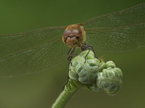 Dragonfly Portrait by John V Nightingale