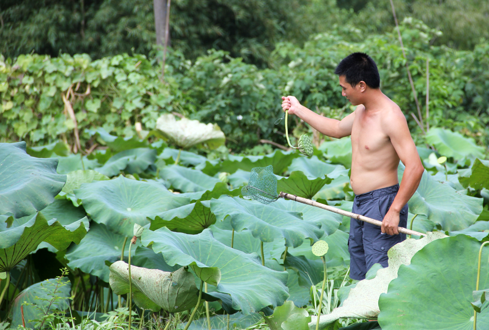 Picking lotus flowers in a sea of green