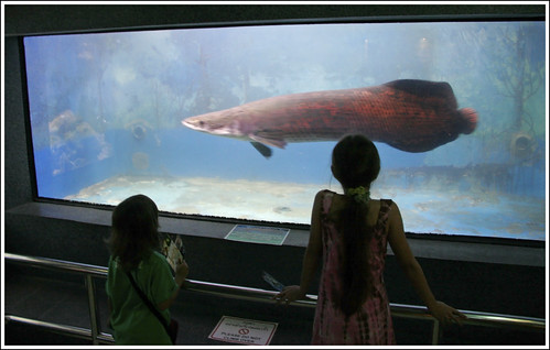 Arapaima at Phuket Aquarium