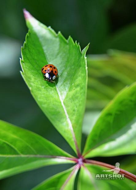 Harlekinkäfer