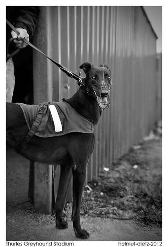 Greyhound Sales Auction, Thurles Greyhound Stadium, Ireland