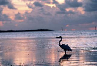 Heron Stalking Prey: Key West, Florida