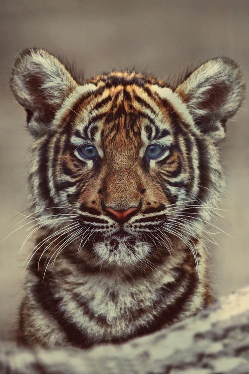 big-cats-24