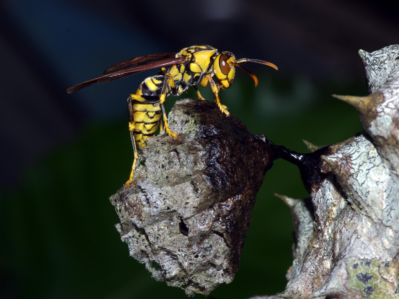 圖二:築巢初期,黃長腳蜂蜂后獨立建巢。