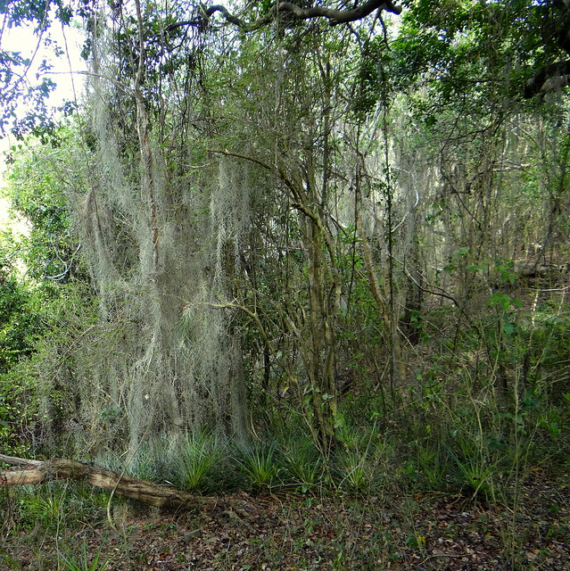Barba de palo [Spanish Moss, Air Plant] (Tillandsia usneoides)