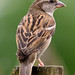 House Sparrow Perching on Fence (Female)