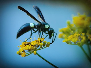 white faced wasp
