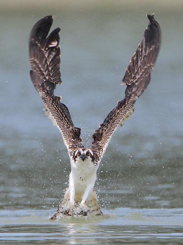 無料写真素材, 動物 , 鷹・鷲, ミサゴ