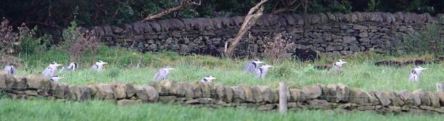 Many Herons
