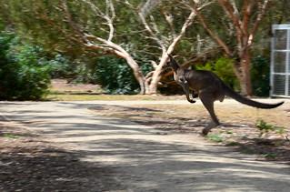 Kangaroo 01m