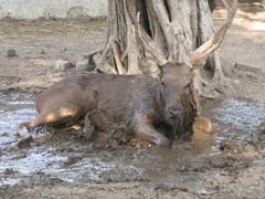 wild boar(0.0), pig(0.0), pack animal(0.0), elk(0.0), pig-like mammal(0.0), moose(1.0), fauna(1.0), wildlife(1.0),