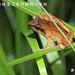 余松芳_梭德氏赤蛙背上有明顯的八字斑