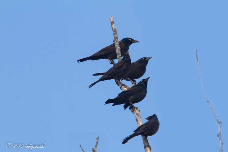 Five Grackles_