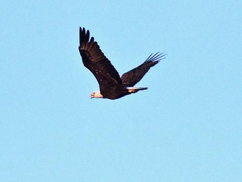 Bald Eagle 20140406