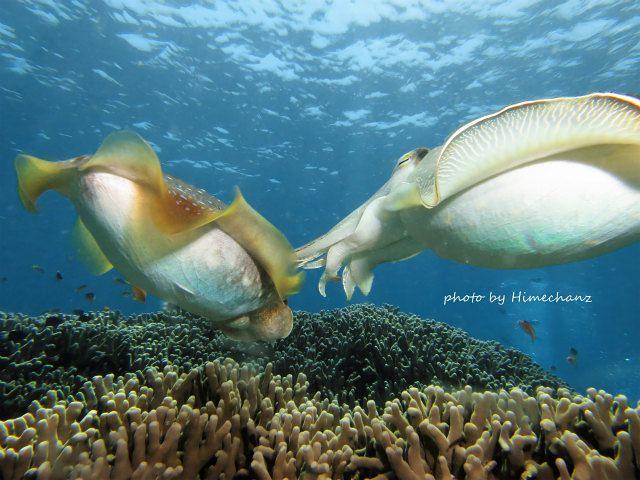 オスのコブシメがメスを誘います