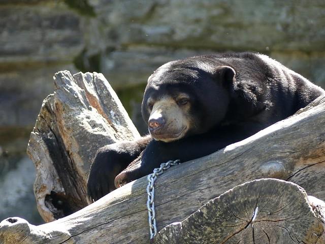Malaienbär, Zoo Köln