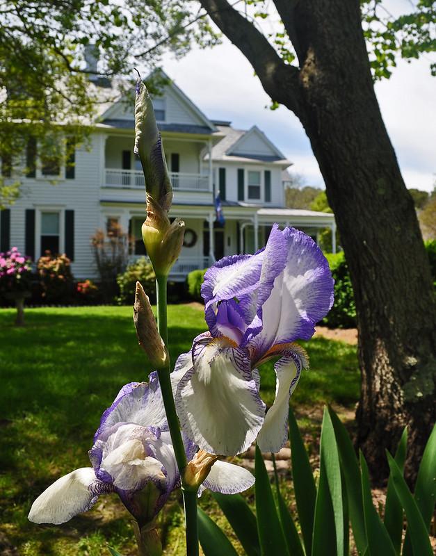 Bearded Iris (2)
