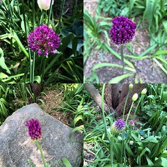Onion flower stages