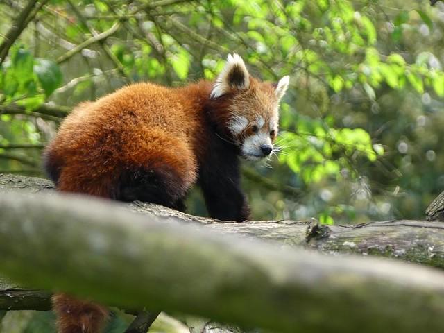 Roter Panda, Zoo Heidelberg