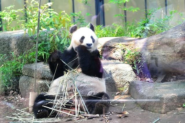 中望遠レンズで撮影した上野動物園のパンダ