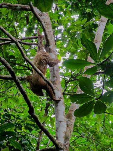 Parc National de Cahuita: et un paresseux de plus ! Et de très près !!