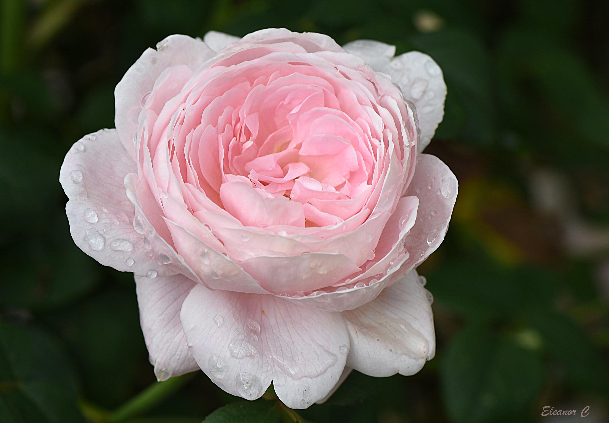 Hình dáng hoa hồng Queen of Sweden rose