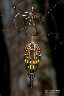 Golden orb weaver (Nephila sp.) - DSC_3883