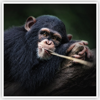 The Portrait of The Chimpanzee