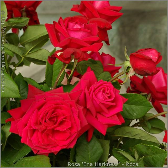 Rosa 'Ena Harkness' - Róża 'Ena Harkness'