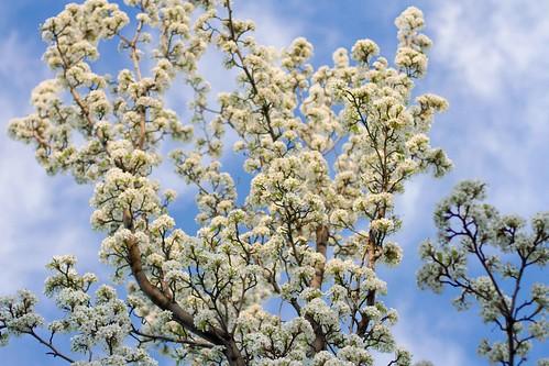 My dad's Flowering Pear Tree