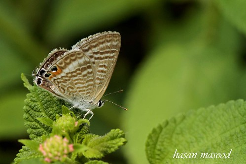 Indian Cupid butterfly.