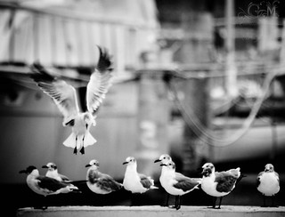 Seagulls meeting