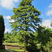 Magnificent conifer at the entrance of the walled kitchen garden.