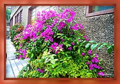 Alegría primaveral en la ciudad de México.....P1090502