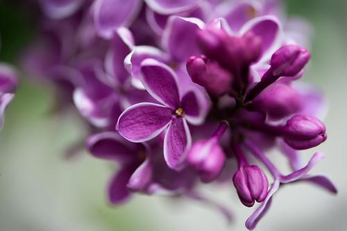 020 lilac