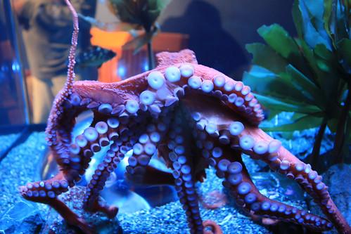Giant Pacific Octopus (Octopus dofleini)
