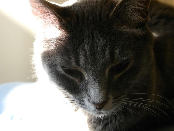 grey tabby sunbathe cat 2