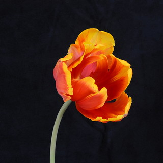 Tulip_Parrot_red & yellow_2579