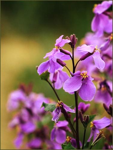 オオワラセイトウ(紫花菜) by T.takako