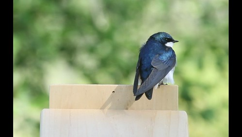 Tree Swallows Nest Building
