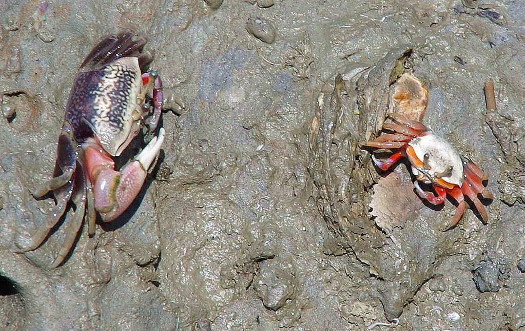 招潮蟹出洞